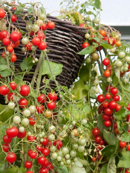Varieties of tomatoes to grow in pots 9