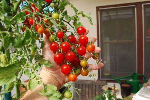 Varieties of tomatoes to grow in pots 12