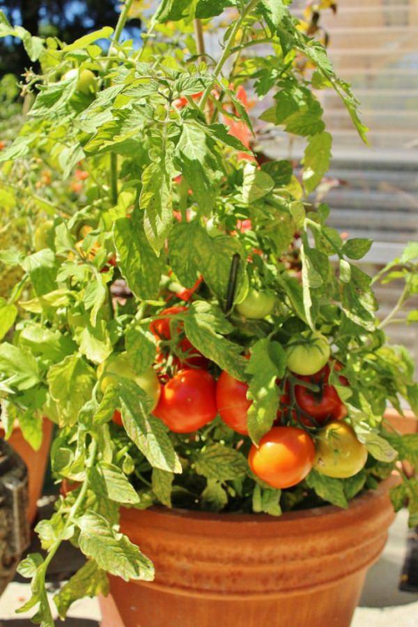 Varieties of tomatoes to grow in pots 16