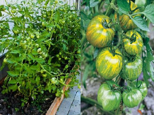 Varieties of tomatoes to grow in pots 20