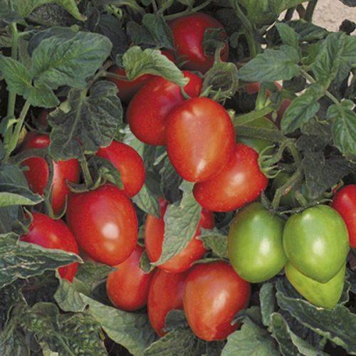 Varieties of tomatoes to grow in pots 8