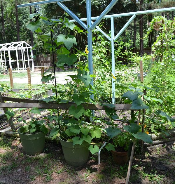 17 vines edibles for cultivation in pots 4