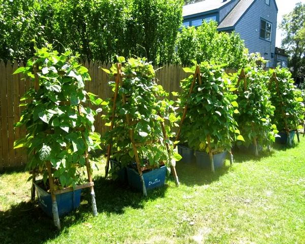 17 enredaderas comestibles para cultivo en maceta - Cultivar judias verdes ...