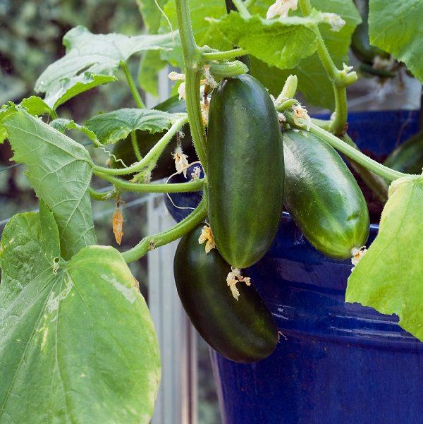 17 enredaderas comestibles para cultivo en maceta