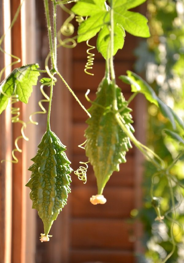 17 vines edibles for cultivation in pots 12