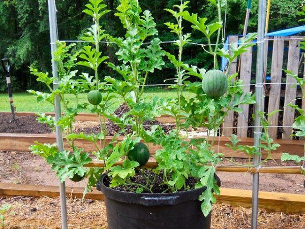 17 enredaderas comestibles para cultivo en maceta for Planta perenne en maceta de invierno
