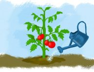 imagen 5 consejos para el correcto riego de los tomates