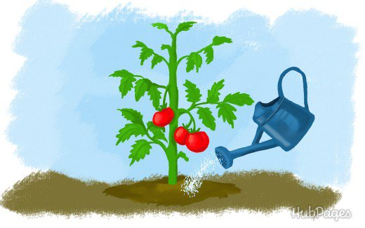5 tips for the proper watering of tomatoes 2