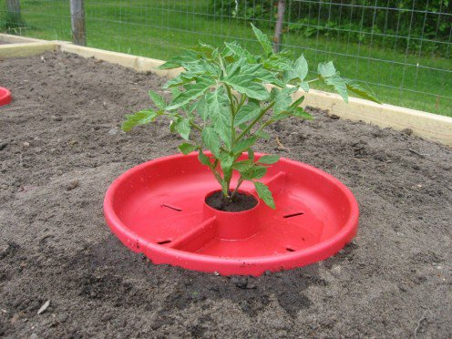 5 tips for the proper watering of tomatoes 3