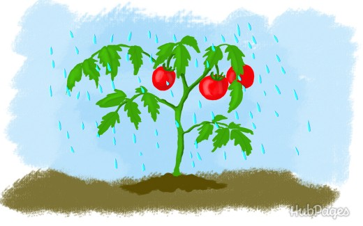 5 tips for the proper watering of tomatoes 4