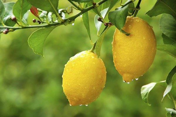 7 tips for an abundant harvest of Meyer lemons 2