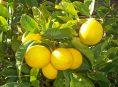 imagen 7 consejos para una abundante cosecha de limones Meyer