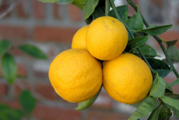 7 tips for an abundant harvest of Meyer lemons 4