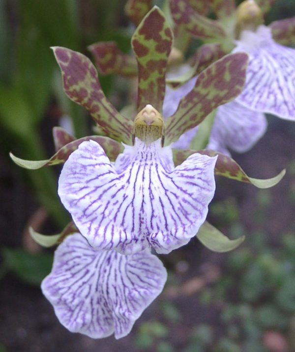 You know the orchid Zygopetalum maculatum 1