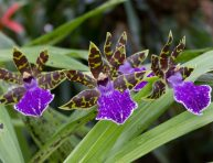 imagen Conoce la orquídea Zygopetalum maculatum