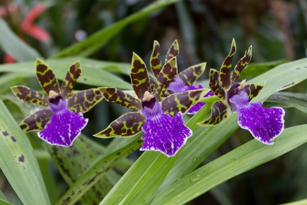 You know the orchid Zygopetalum maculatum 2