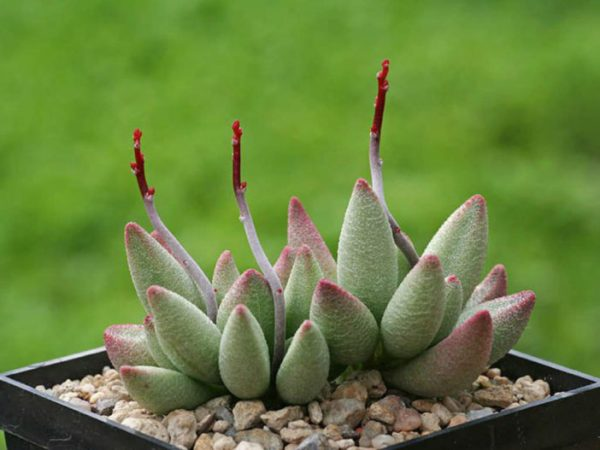 You know the Adromischus marianae 1