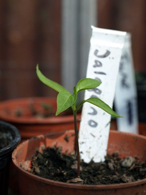 C mo cultivar jalape os en maceta for Como iniciar un vivero en casa