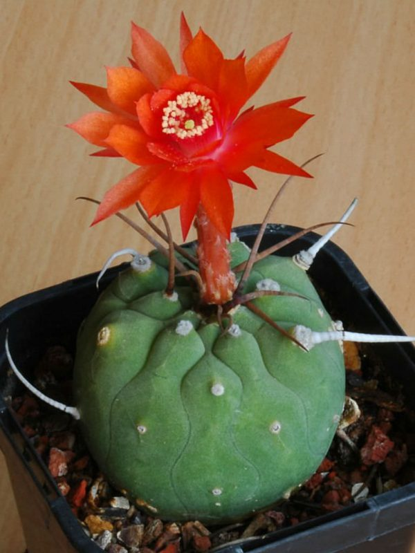 Cultivation and care of the matucana 2