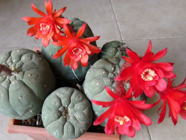 Cultivation and care of the matucana 3
