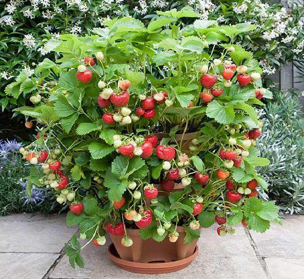 The best fruits for cultivation in pots 1