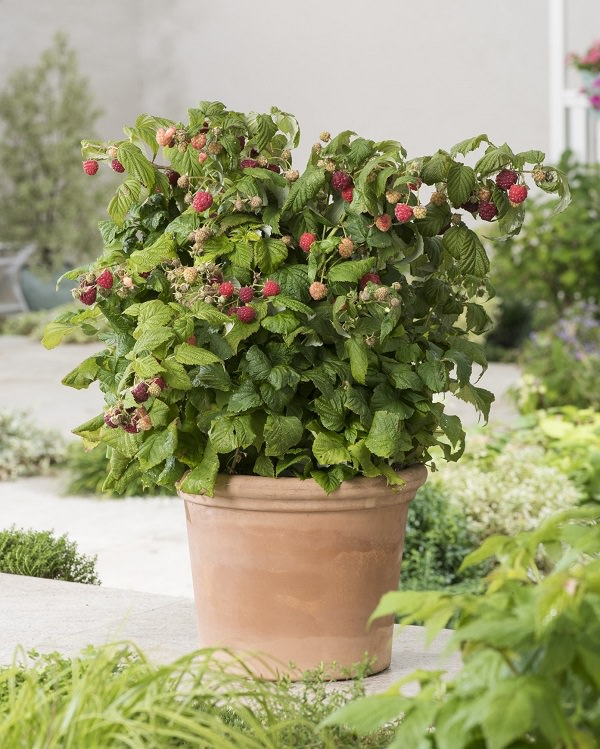 The best fruits for cultivation in pots 3