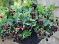 imagen Los mejores frutos rojos para cultivo en maceta