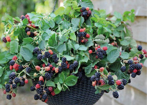 los mejores frutos rojos para cultivo en maceta