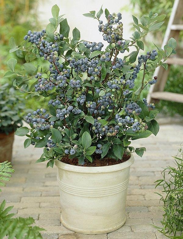 frutos rojos ideales para cultivar en maceta