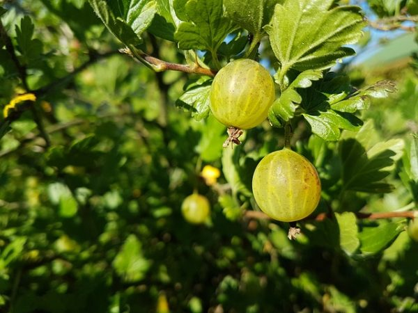 The best fruits for cultivation in pots 8