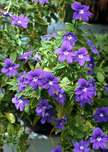 Annual plants for growing in shade 3