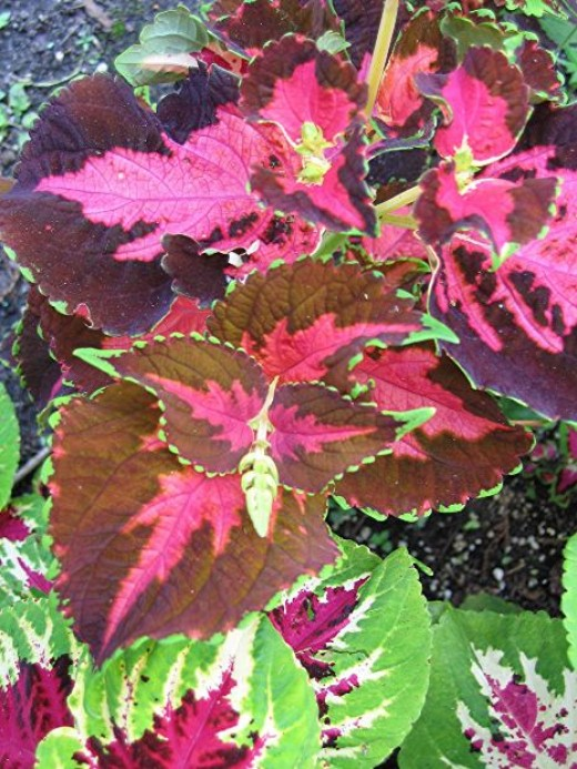 Annual plants for growing in shade 4