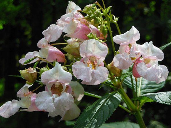 Plantas Anuales Para Cultivo En Sombra - Flores-de-sombra