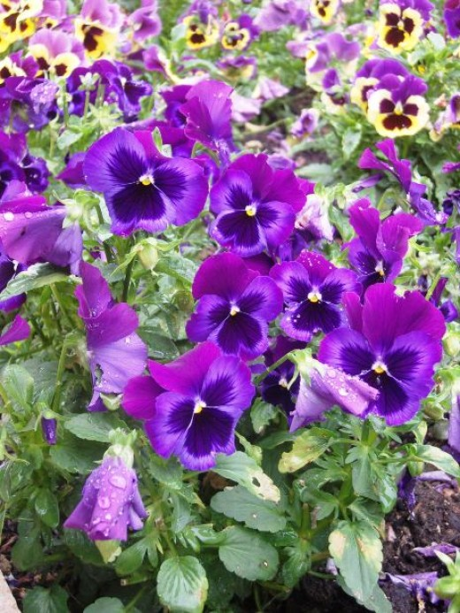 Annual plants for growing in shade 8