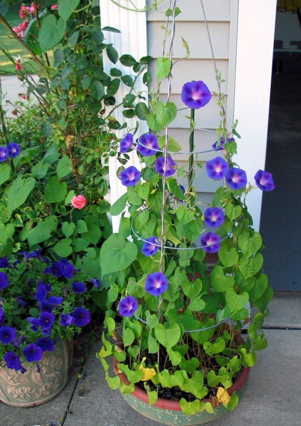 Plants of blue flower to cultivate in a pot 1