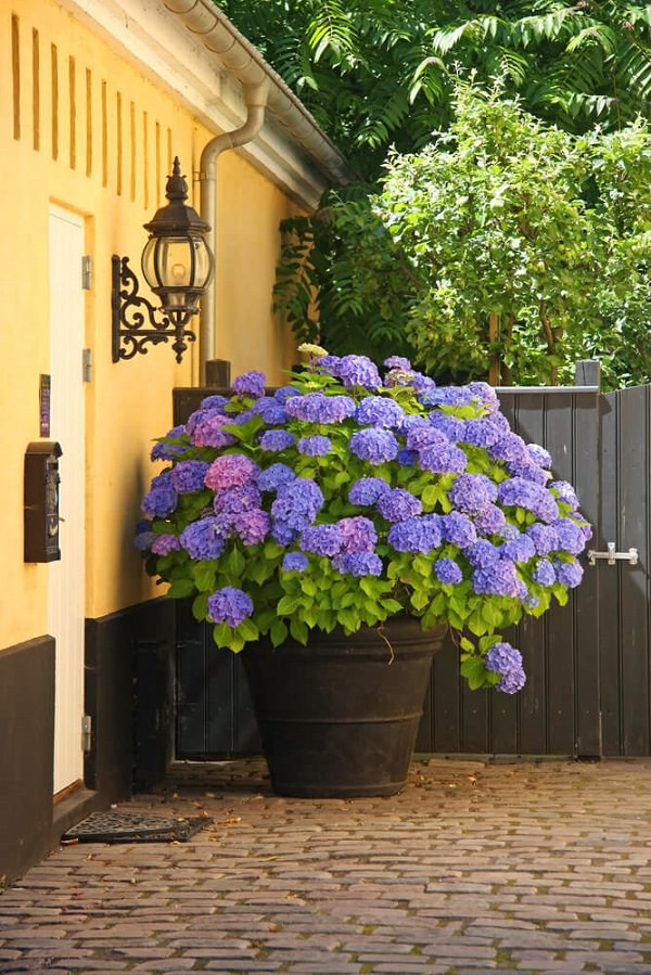Plants of blue flower to cultivate in a pot 2