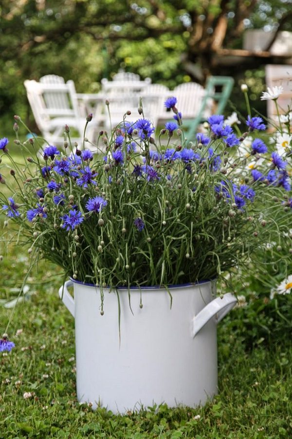Plants of blue flower to cultivate in a pot 4
