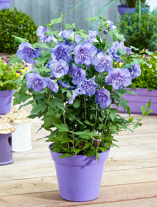 Plants of blue flower to cultivate in a pot 5