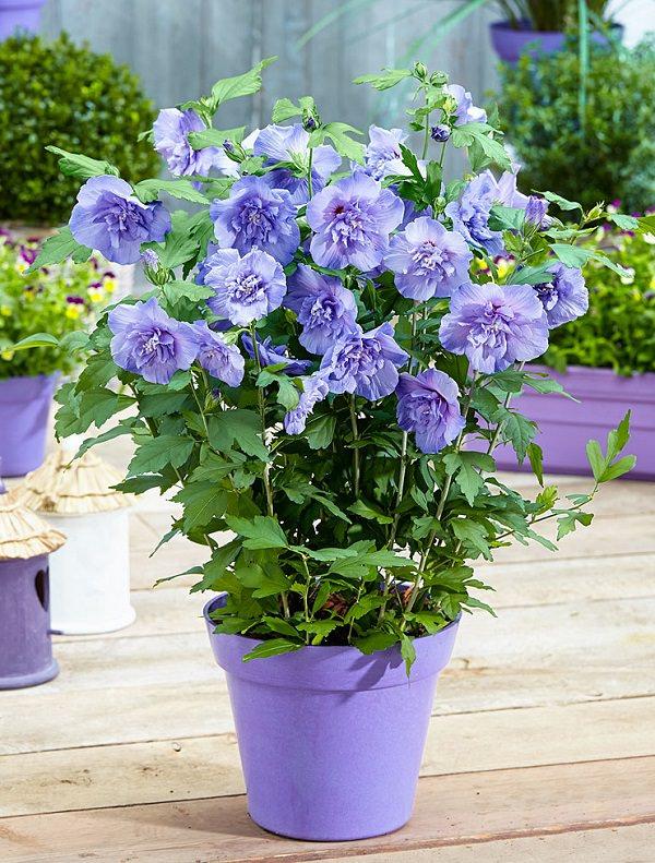 Plantas de flor azul para cultivar en maceta for Glicina planta