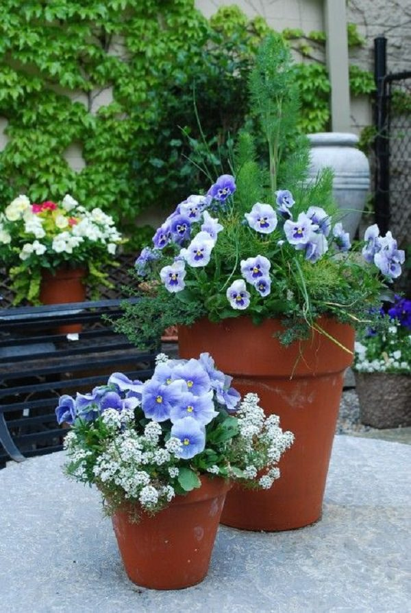 Plants of blue flower to cultivate in a pot 7