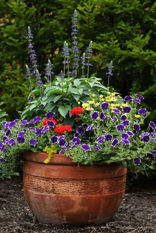 Plants of blue flower to cultivate in a pot 8
