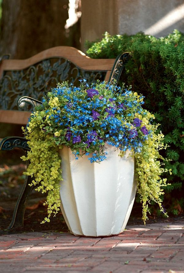 Plants of blue flower to cultivate in a pot 9