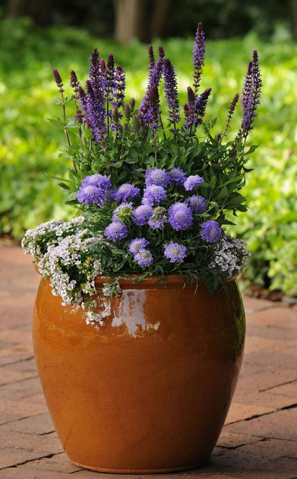 Plants of blue flower to cultivate in a pot 10