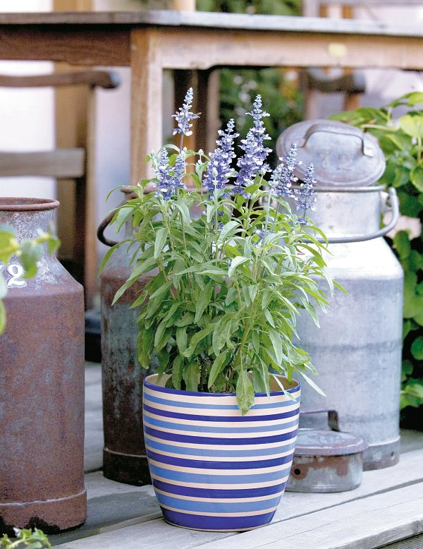Plants of blue flower to cultivate in a pot 11