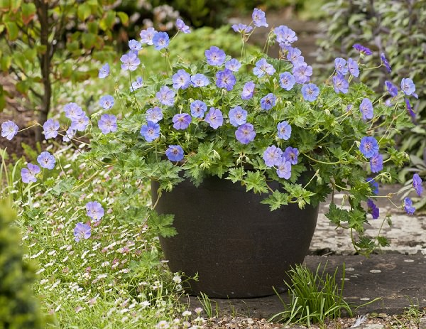 Plants of blue flower to cultivate in a pot 12