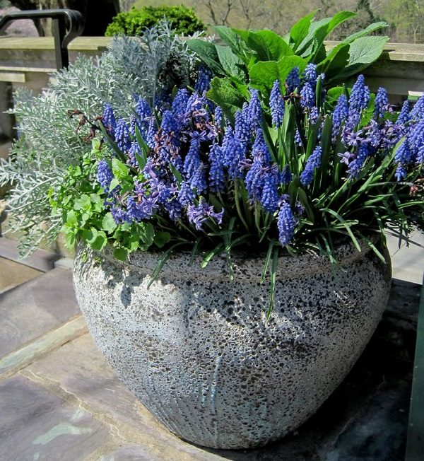 Plants of blue flower to cultivate in a pot 13