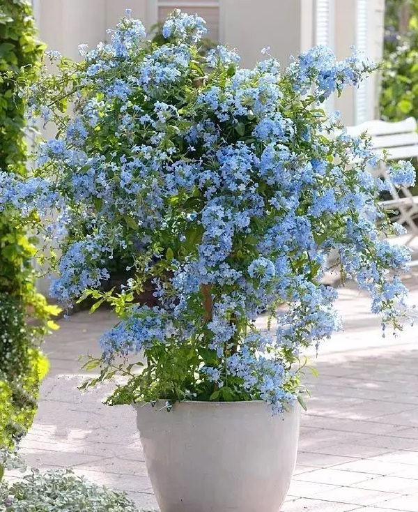 Plants of blue flower to cultivate in a pot 14