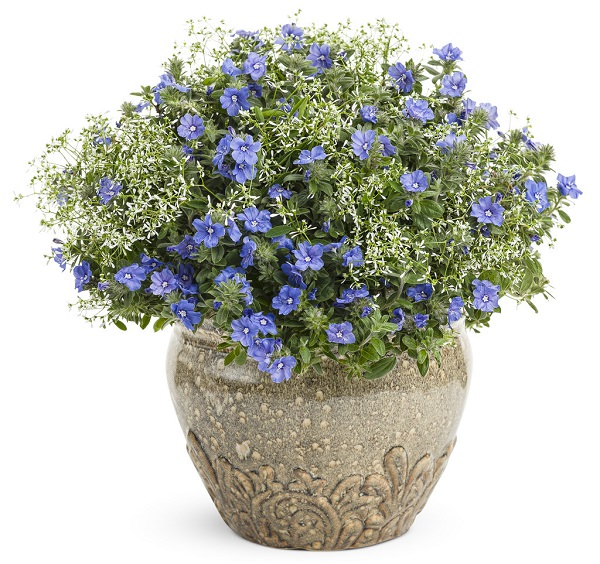 Plants of blue flower to cultivate in a pot 15