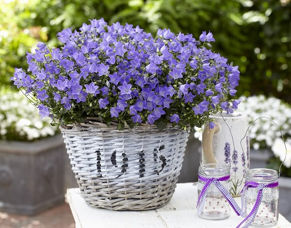 Plants of blue flower to cultivate in a pot 16