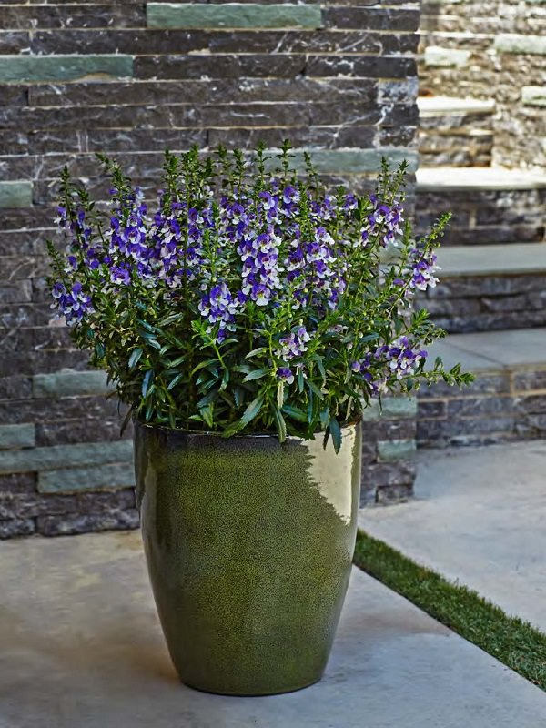 Plants of blue flower to cultivate in a pot 20